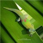 Rainbow Geckoe