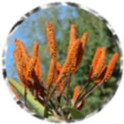 Zimbabwe aloe, orange flowers 1082