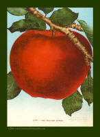 Heirloom Red Apple