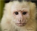 Capuchin face