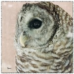 Arki the Barred Owl