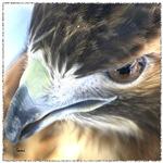 Red Tail Hawk Side Portrait (2)