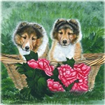 Shetland Sheepdog Sable Pups
