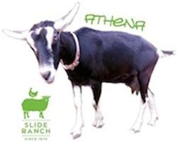 Athena the Goat