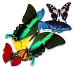 Butterflies of Many Colors
