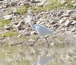 The White Heron Line