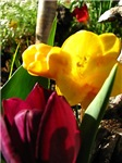 Tulip and Freesia