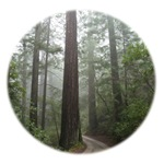 Redwood Forest Fog
