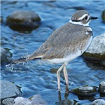 Killdeer (Single)