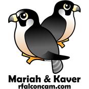 Mariah & Kaver Falconcam