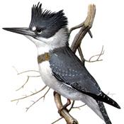 Fuertes' Kingfisher