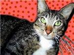 Polkadot Puss - Exotic Tabby Cat