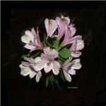 ALSTROMERIA - Peruvian Lily- NOT Orchid