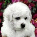 Bichon Frise puppy ~ Jerod