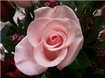 Pale Pink Rose