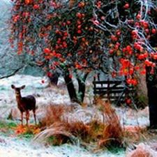Deer in Orchard