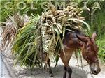 Burrito cañero Sugarcane Donkey