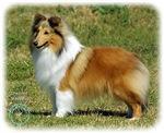 Shetland Sheepdog 9P033D-220
