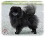 Pomeranian 9R042D-47