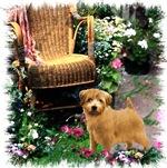 Norfolk Terrier Gifts of Art
