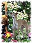 Italian Greyhound Art