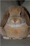 Holland Lop Bunny