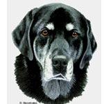 Molly, Black Labrador Retriever