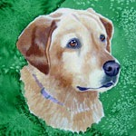 Bailey, Yellow Labrador