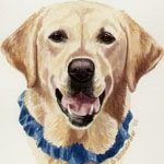 Shelby, Yellow Labrador