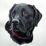 Niles, Black Labrador Retriever
