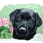 Rosie, Black Labrador