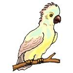 Baby Leadbeater's Cockatoo