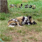 wild canines