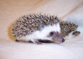 Double Trouble Hedgehogs