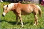 Melnie Halflinger Horse