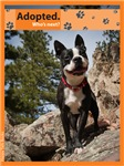 Black and White Boston Terrier Items