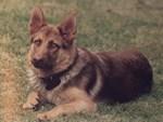 Gem the German Shepherd Dog
