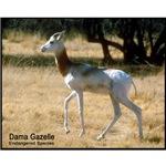 Dama Gazelle Photo