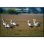 Wattled Cranes Bird Photo