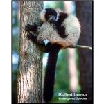 Ruffed Lemur Photo
