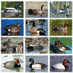 Ducks of North America
