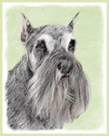 Schnauzer-Multiple Illustrations
