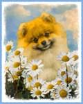 Pomeranian in Daisies