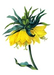 Fritillaire Imperiale ver Jaune By Redoute