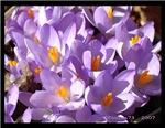 crocus - spring awakening I
