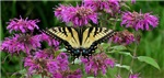 .swallowtail on bee balm.