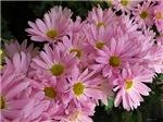 .pink daisy mums.