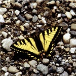 Western Tiger Swallowtail (4)