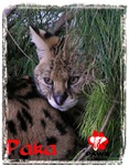 Paka the African Serval