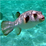 Striped Puffer Fish